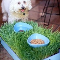 Food Bowls in Wheatgrass