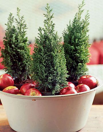 Miniature Evergreens among Apples